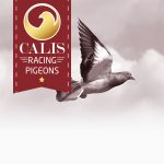 Calis race duiven